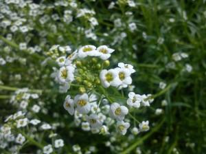 Fleur d'Alysson